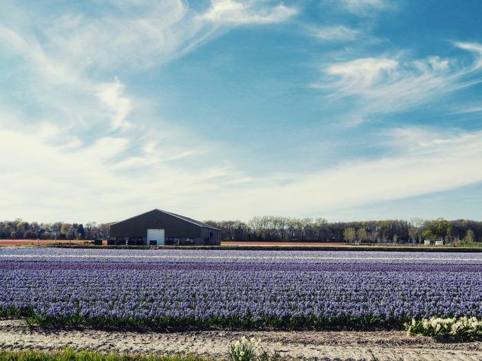 Кёкенхоф 2019 цветочные поля