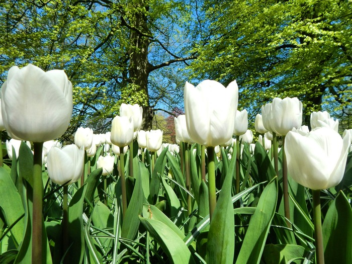 Кёкенхоф 2020 белые тюльпаны