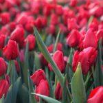 Кёкенхоф парк тюльпанов