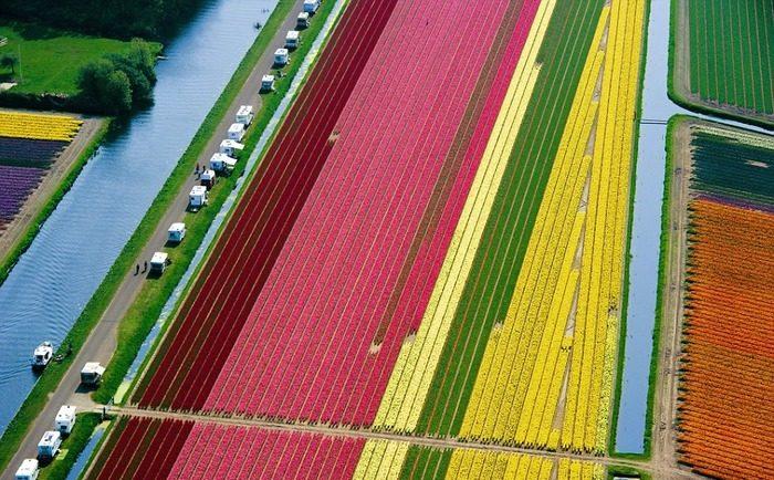 тюльпановые поля с неба