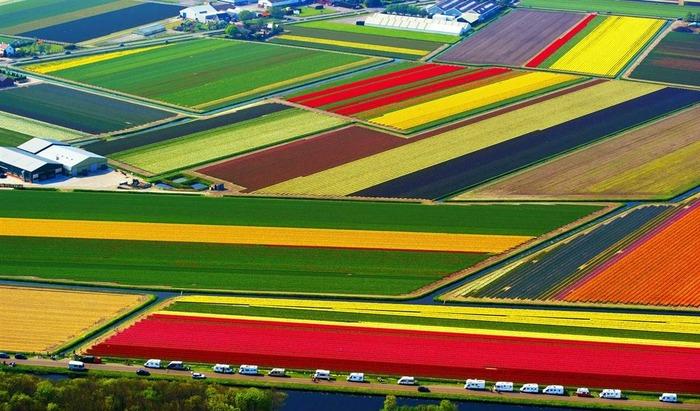 тюльпановые поля с высоты