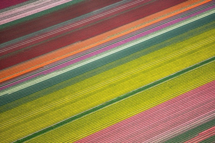 тюльпановые поля цветные пятна сверху