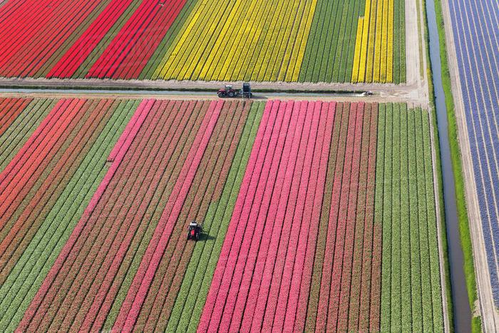 тюльпановые поля трактор в цветочном поле