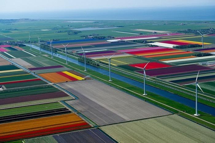 тюльпановые поля с высоты полета