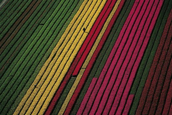 тюльпановые поля цветочный пэчворк