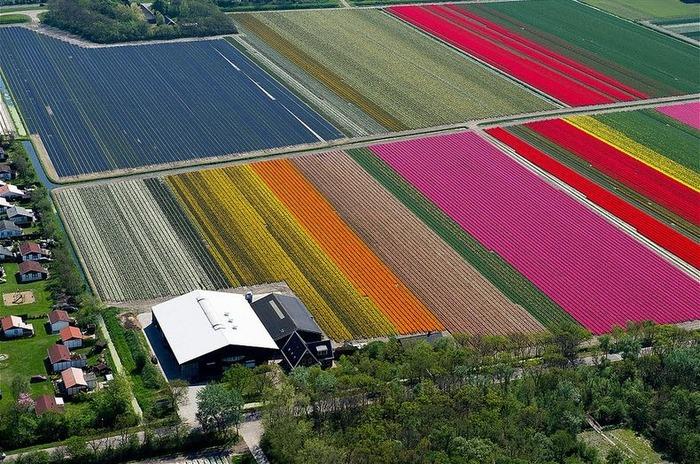 тюльпановые поля дом среди тюльпанов