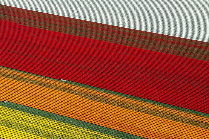 тюльпановые поля яркие полосы цветов