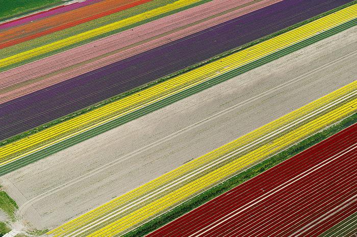 тюльпановые поля цветы в поле