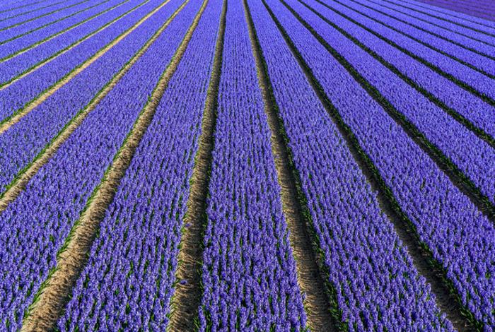 тюльпановые поля фотографии сверху