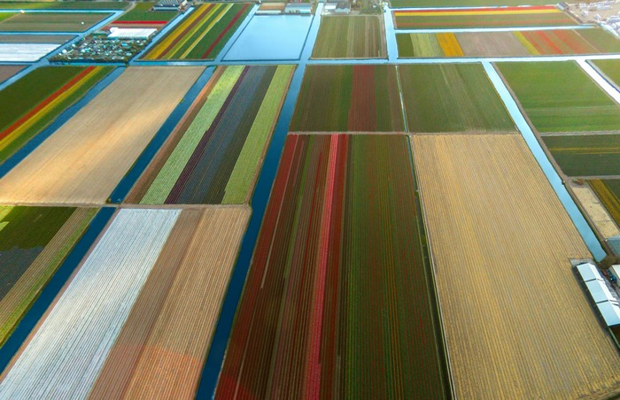 тюльпановые поля фото с дрона