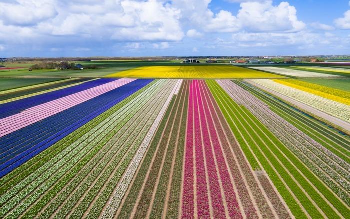 тюльпановые поля кёкенхов