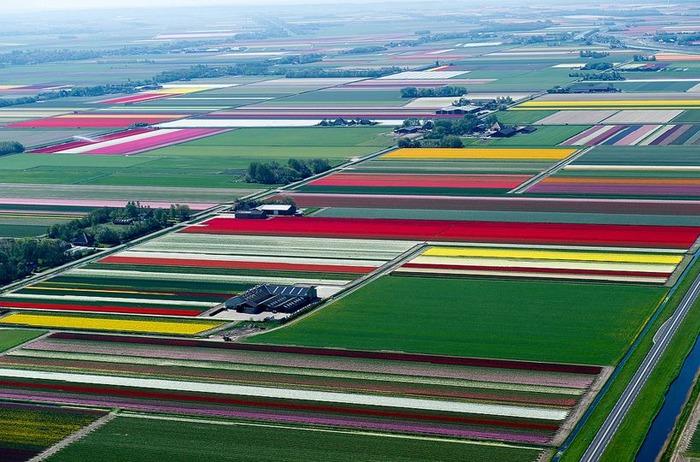 тюльпановые поля с вертолета