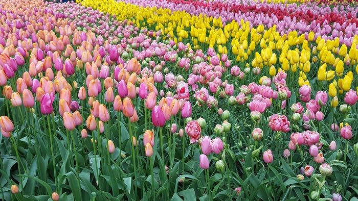 кекенхоф 2019 цветные тюльпаны