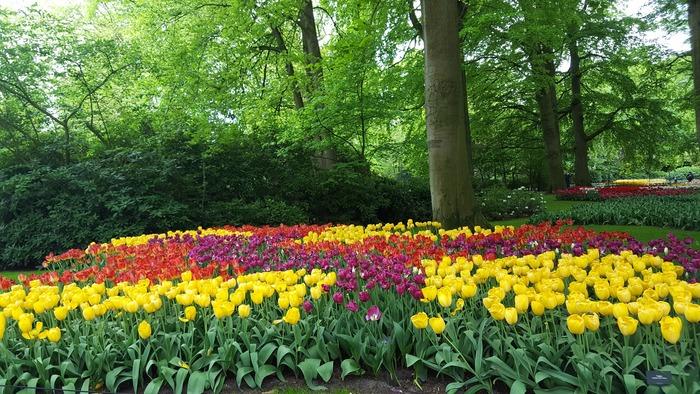 кекенхоф 2019 цветочная поляна