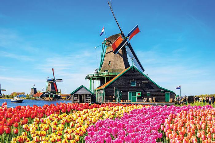 голландские мельницы1 в поле тюльпанов