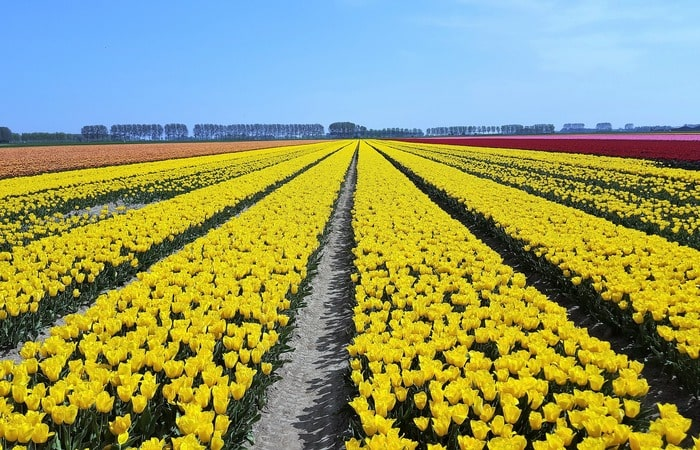 Тюльпановые поля в Голландии