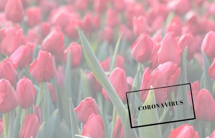 Коронавирус в Нидерландах тюльпаны и коронавирус