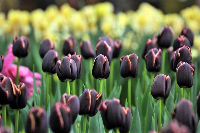 Нидерланды и коронавирус тюльпановые поля